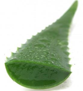 Aloe Vera Gél – házilag, egyenest a növényből