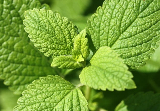 Lemon balm herb growing in garden
